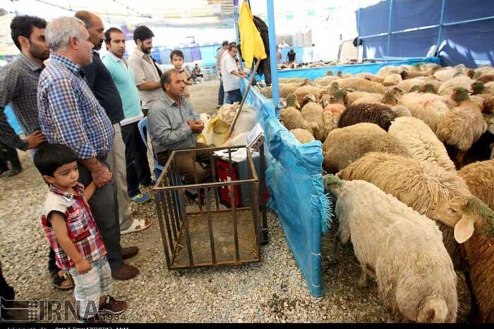 برپایی صندلی های عرضه دام بهداشتی در عید قربان