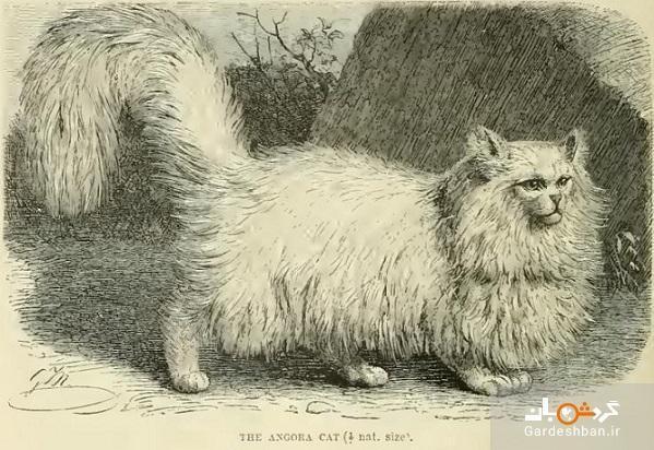 پای گربه ایرانی چگونه به قاره سبز باز شد؟